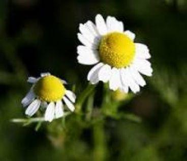 بهترین گیاه برای درمان سرماخوردگی در یک روز!