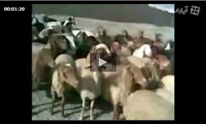 گوسفند های محترم و گرامی