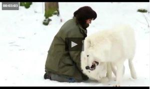 دوستی عجیب یک زن با گرگها