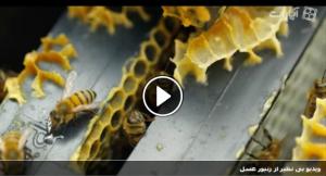 ویدیو بی نظیر از زنبور عسل