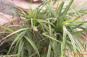 P Candelabrum گیاهی که بر معادن الماس میروید