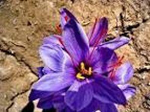 این گیاه ایرانی به درمان بیماری ام اس کمک می کند