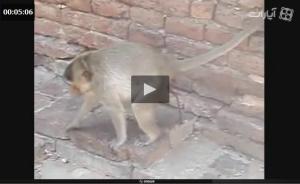 ویدیوی خنده دار میمون ها