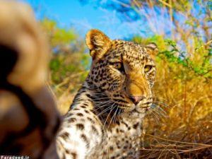 زن جوانی که دل شیر دارد و گرفتن سلفی از نوع یوزپلنگی! عکس
