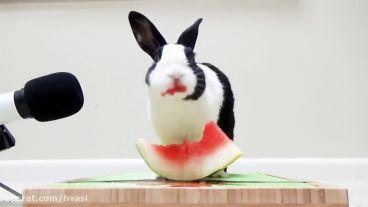 ویدیو  از هندوانه خوردن خرگوش بامزه