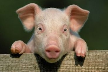 رد پای خوک توی سفره هامون رو کجای دلمون بزاریم ؟